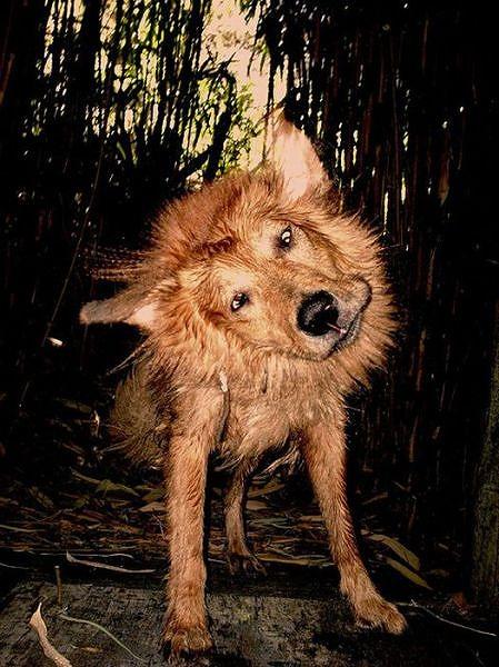 これだけ身体を震わしているのに躍動感がないって逆にすごいですね 力が入... 濡れた犬がぶるぶる