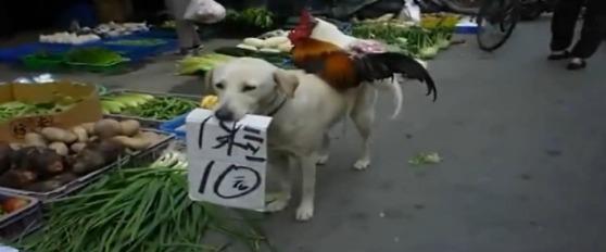 多種多様な芸やお手伝いをする犬はいますが、中国には背中にニワトリを背負... 犬でも自活!?中国