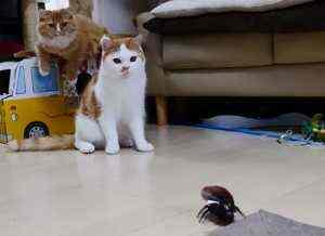 ゴキブリ型のラジコンにマンチカン猫の一家も興味津々なようです。走り回るゴキブリロボットを追いかけて暴走してしまうマンチカン猫たちをご覧ください。