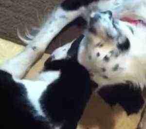 犬のクリケットと猫のピッグは大の仲良し。ピッグはクリケットに甘えます。... 顔をすりすりしなが