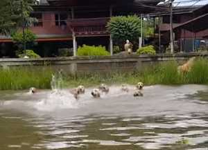 タイで撮影された16匹のゴールデン・レトリバーが川で泳ぐ様子をご紹介します。飼い主と一緒に元気に泳ぎます。
